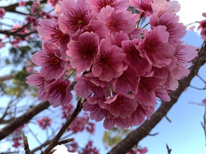 八重岳の桜~♪